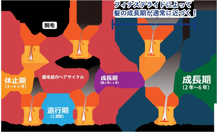 ヘアサイクルの図